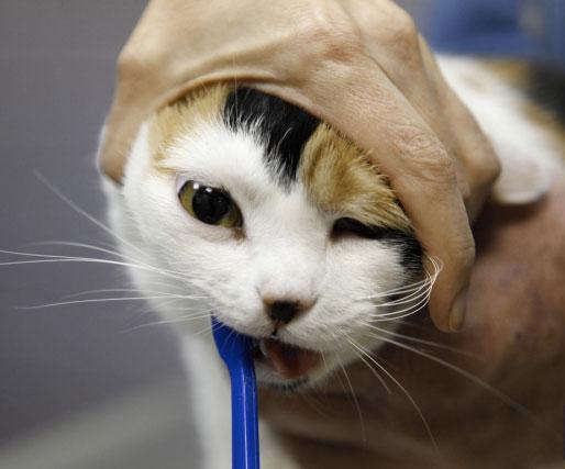brossage des dents chez un chat