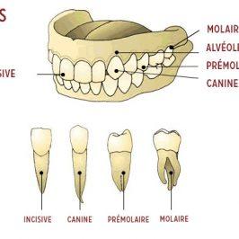 Dents de sagesse et récidive orthodontique : y a-t-il un lien ?