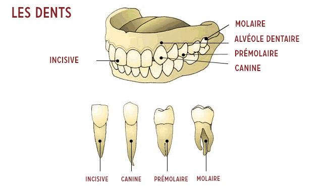 noms des dents